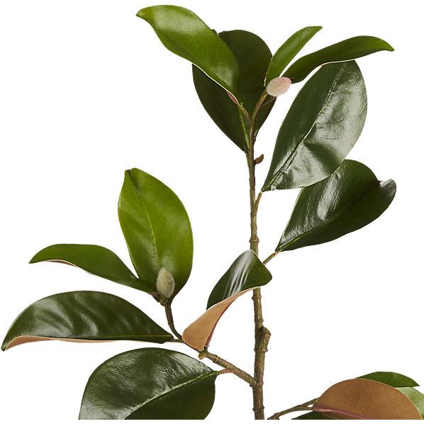 MagnoliaStem30inAVS16